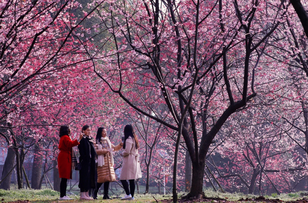 A photo of Hanami is the tradition of celebrating the Sakura, the arrival of Japanese cherry blossoms