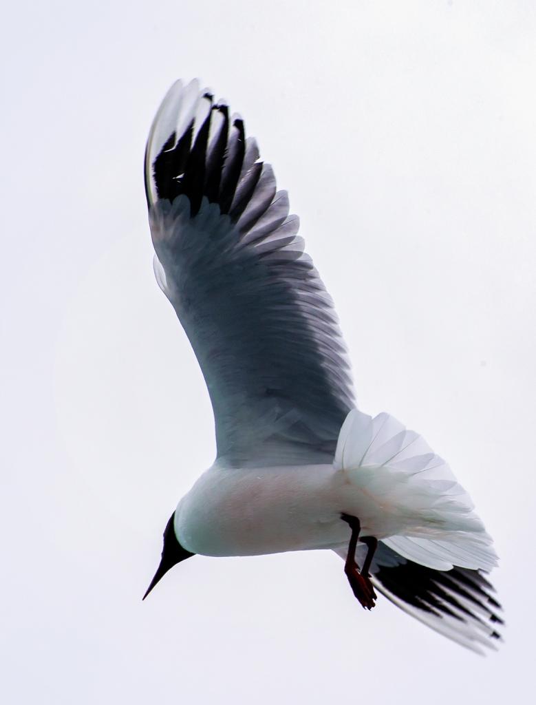 "With a fast shutter speed, one can capture a bird in flight. ""Franklin's Gull"", El Calafate, Argentina, © Anita Sagastegui"